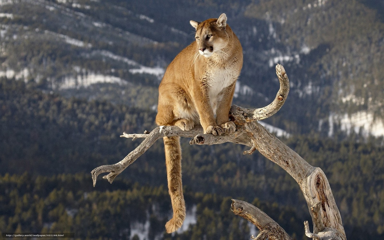 cougar, big cat, trunk, mountain lion