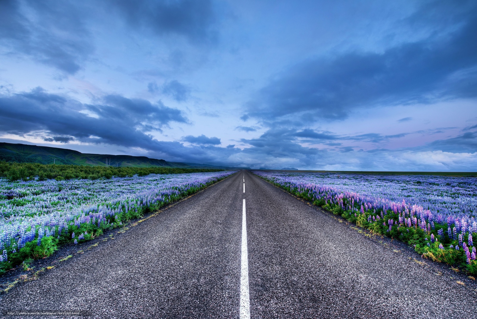 Iceland, Iceland, road, Meadows, Flowers, lupine, horizon -  Flowers.