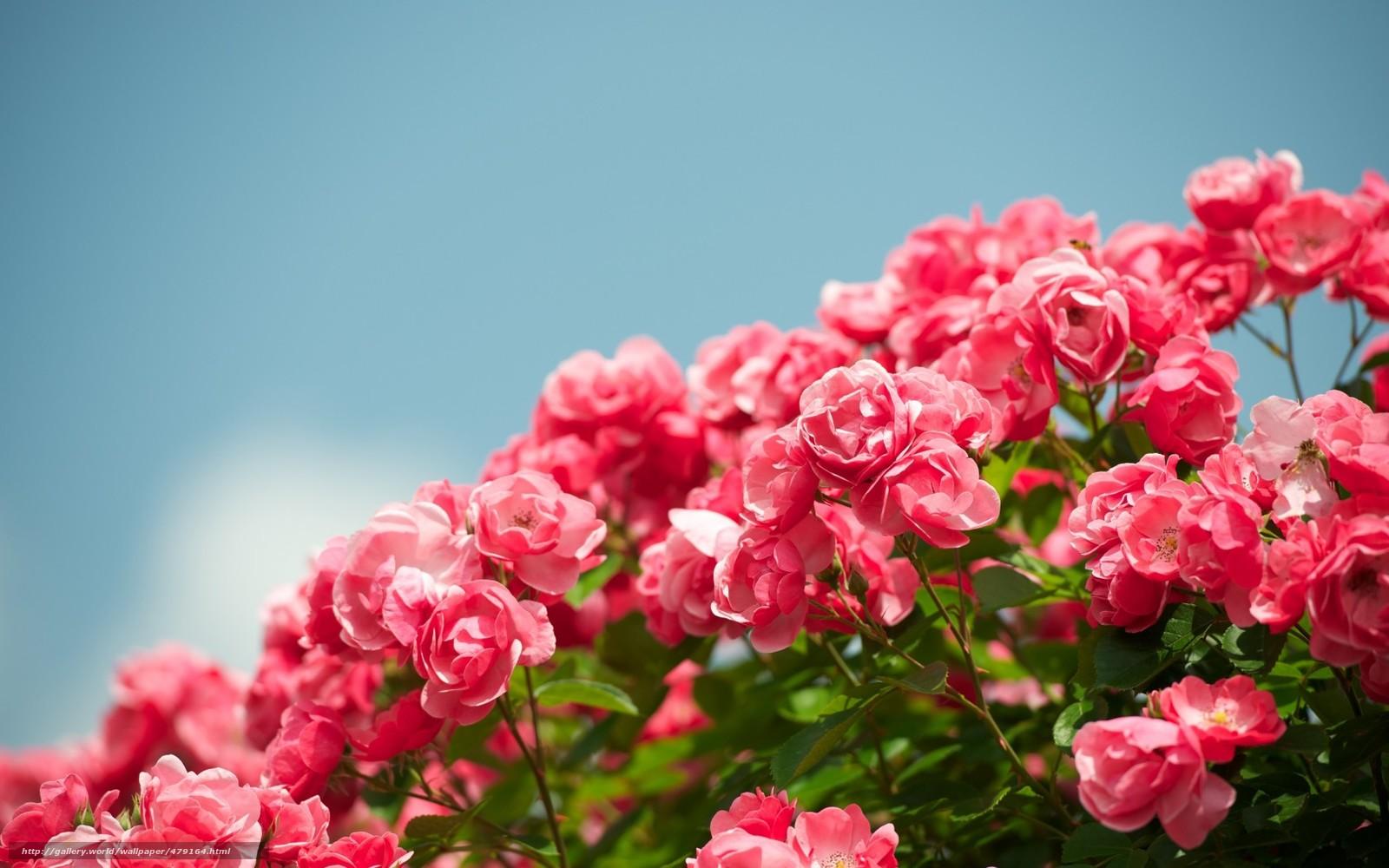 Обои на рабочий стол сад роз