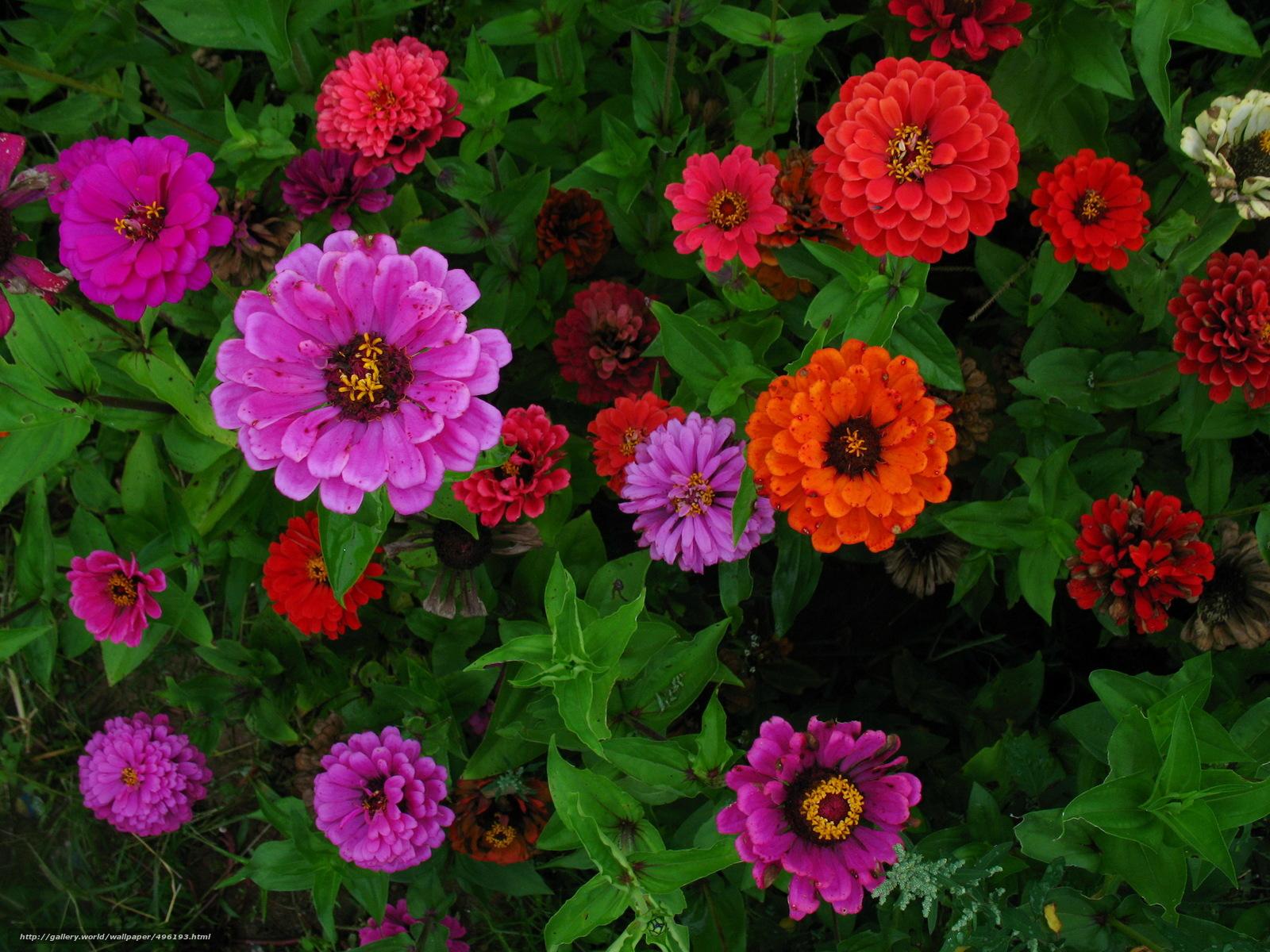 Циния цветов