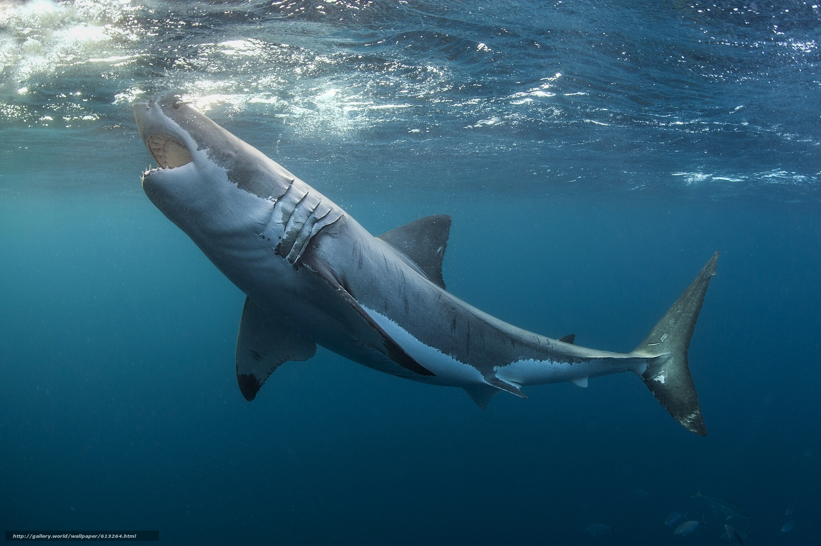 white sharks Ocearch said its team of fishermen and scientists has found the first known birthing site for great white sharks on the north atlantic coast after 26 expeditions, ocearch said the nursery in the famous waters off montauk, long island is the most significant discovery they've ever made, reports cbs.