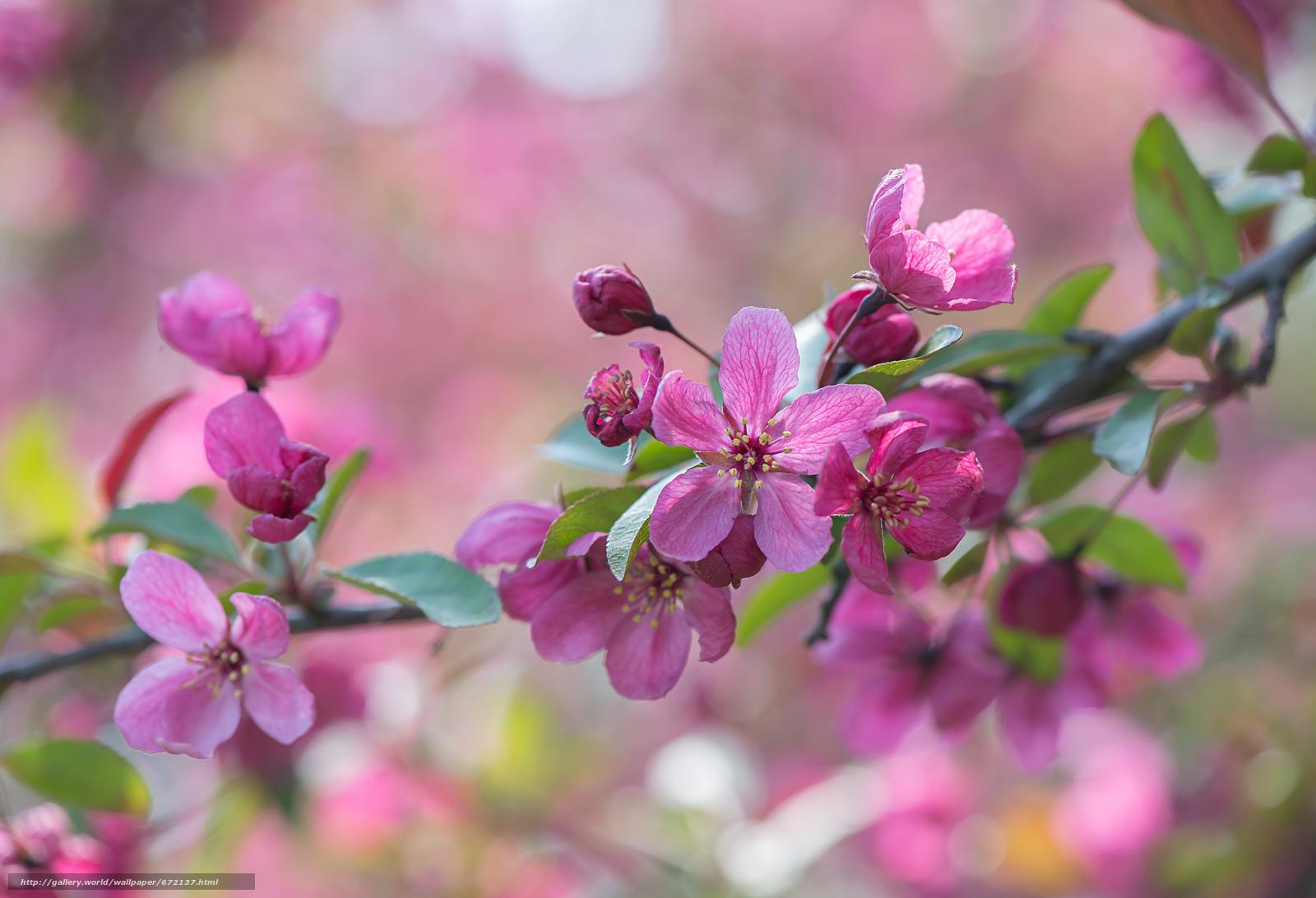 Вишня с цветами фото