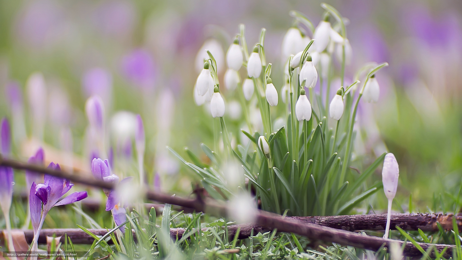 Wallpaper Snowdrops macro photography x HD Picture