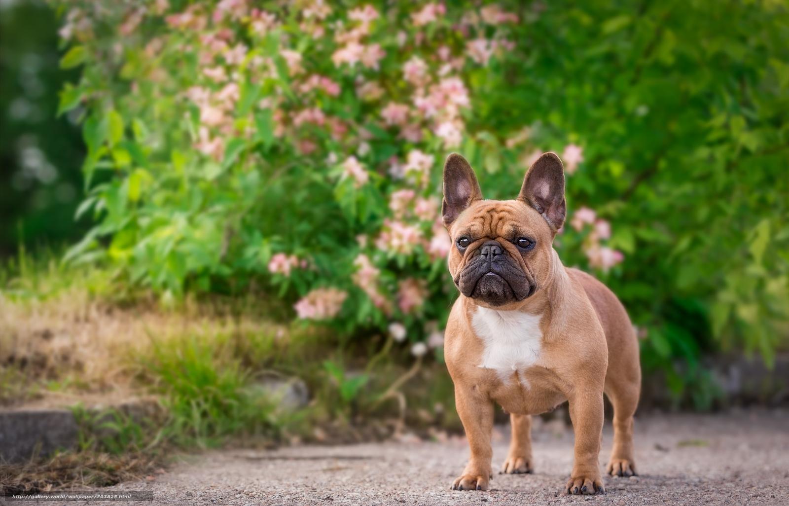 фото названия и французские собаки фото