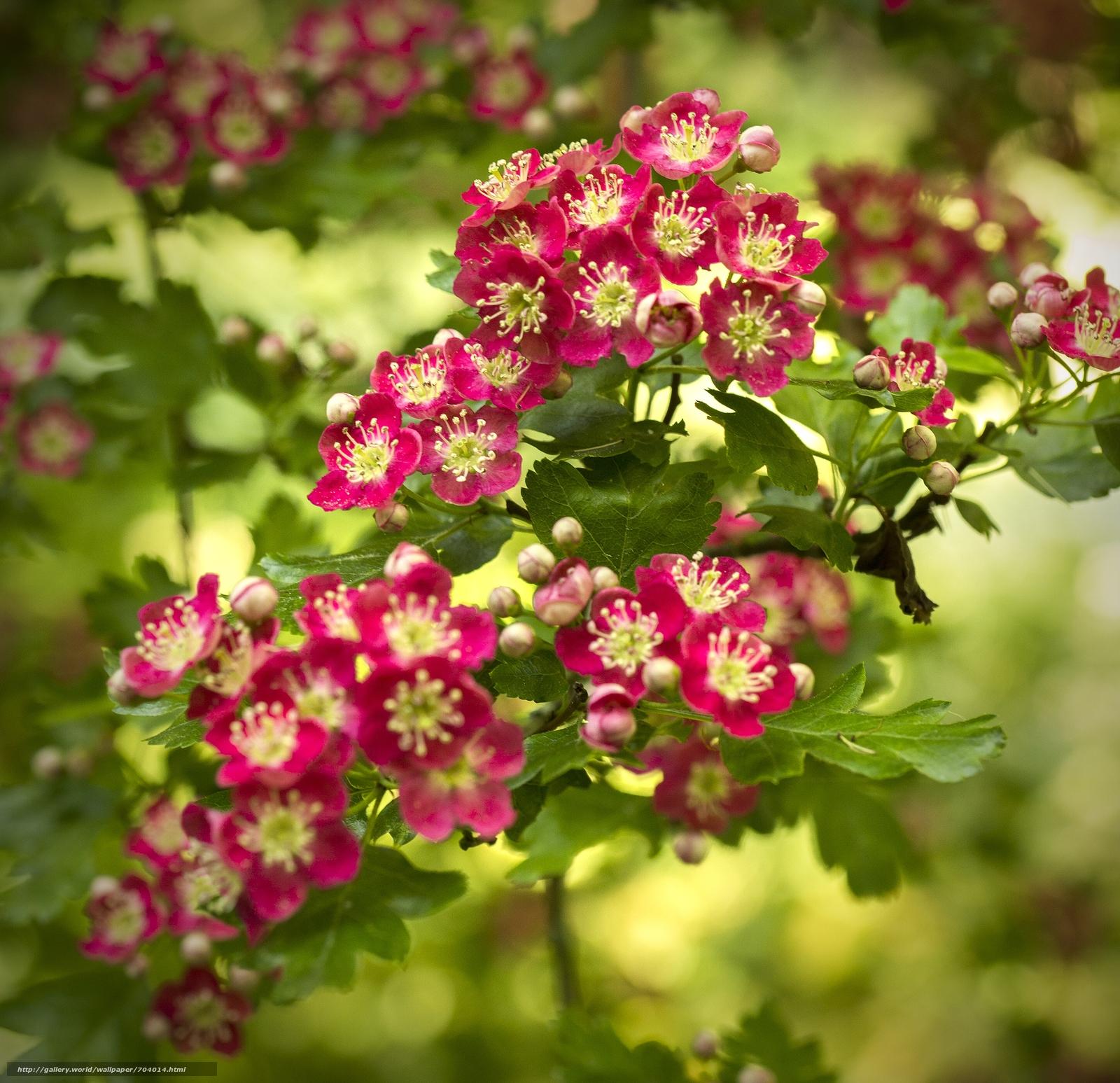 Как цветет боярышник красные цветы