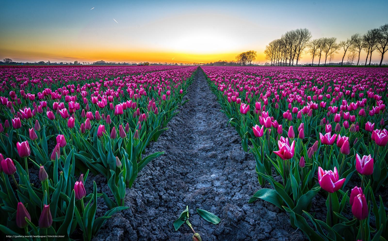 Сеять тюльпаны — к множеству мелких проблем; есть тюльпаны — рискуете потерять авторитет и уважение среди сослуживцев соседей.