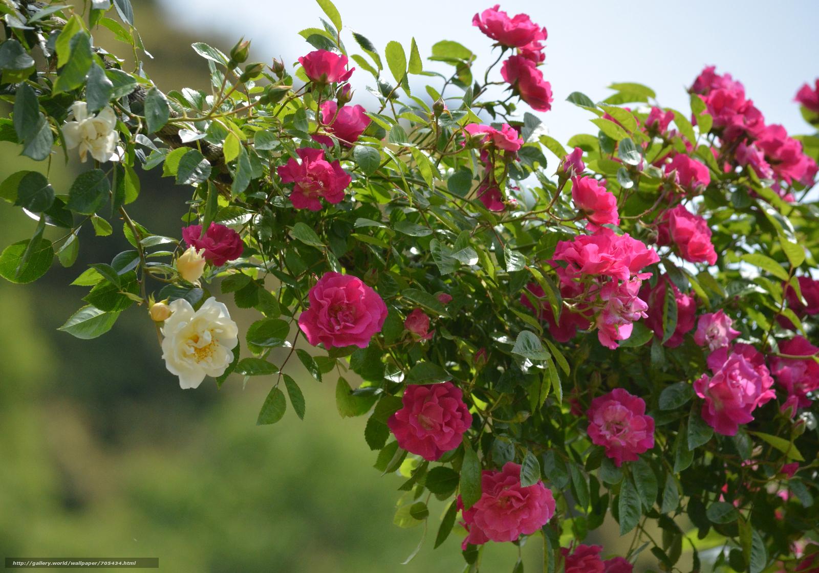 Плетистые розы, цветущие все лето: сорта зимостойкие - выбор