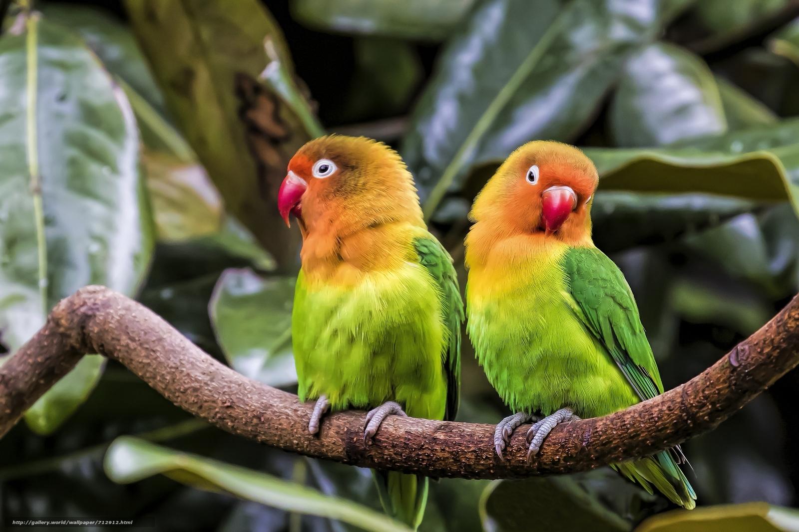 Попугаи неразлучники обои на рабочий стол