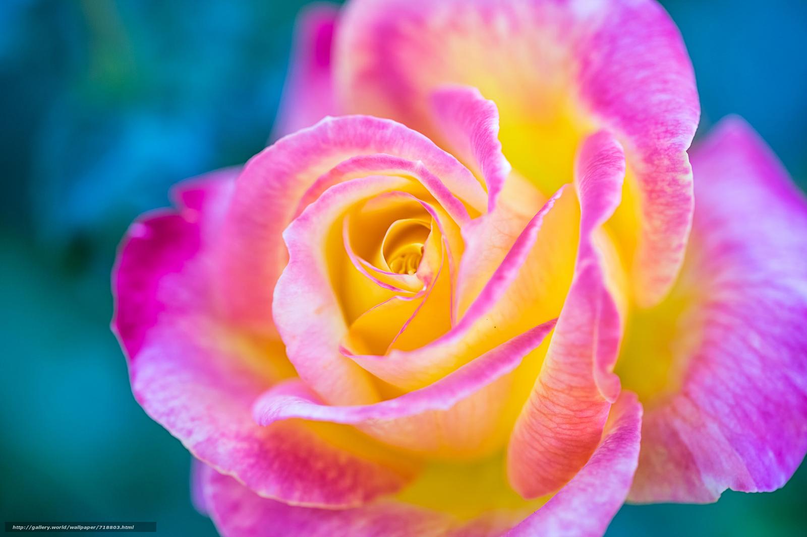 Цветные розы обои для рабочего стола