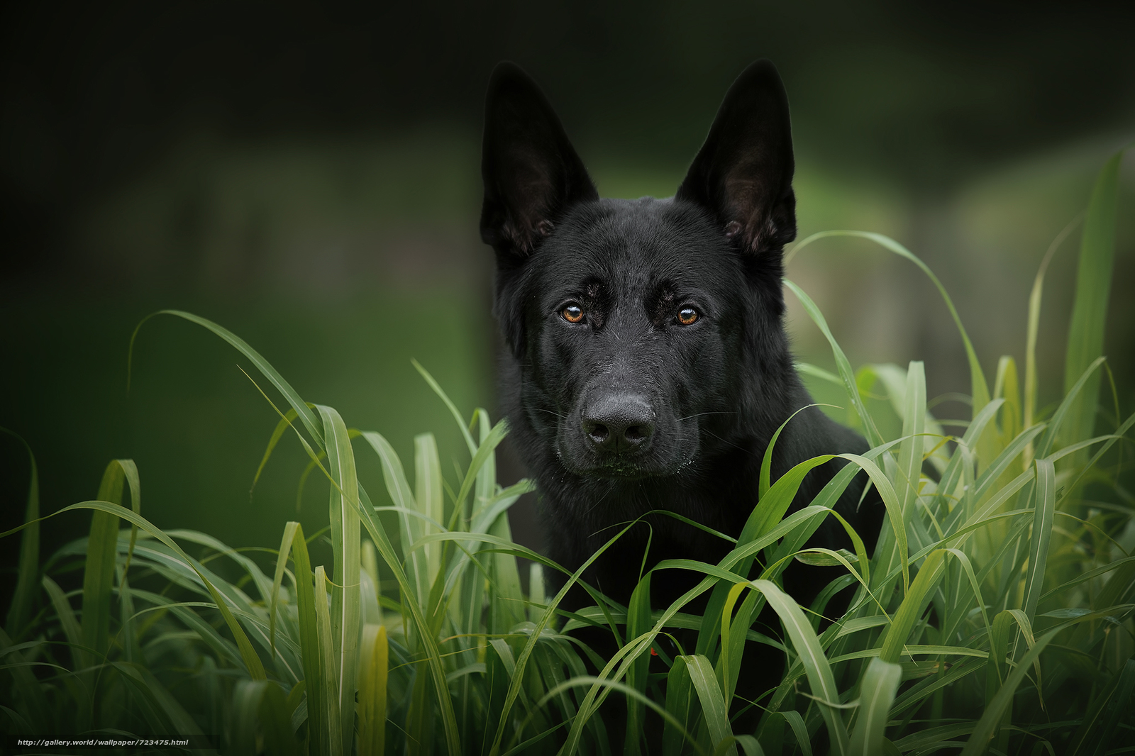 German Shepherd, dog, muzzle, sight, grass