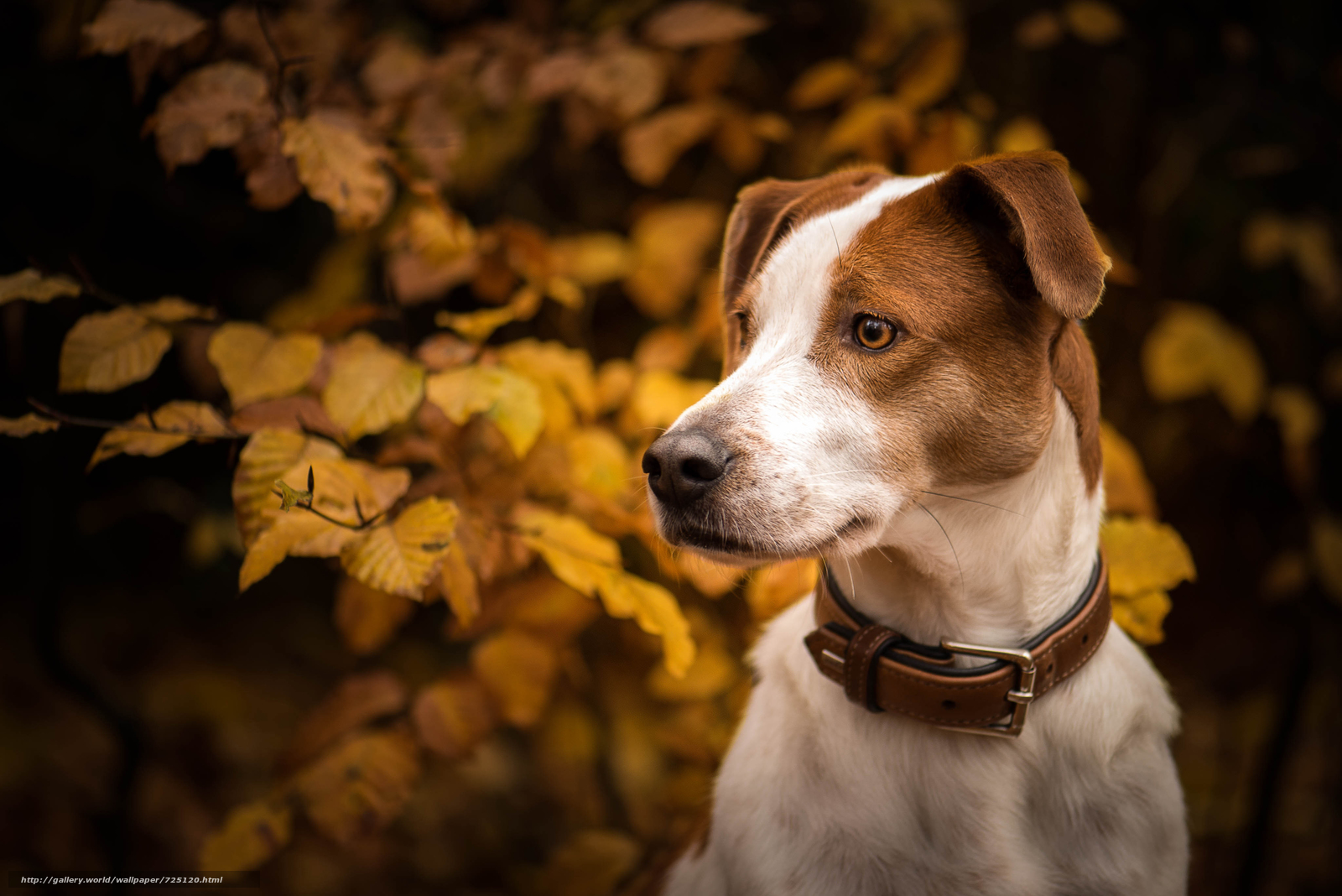 dog, muzzle, sight, collar, autumn, branches, leaves, portrait