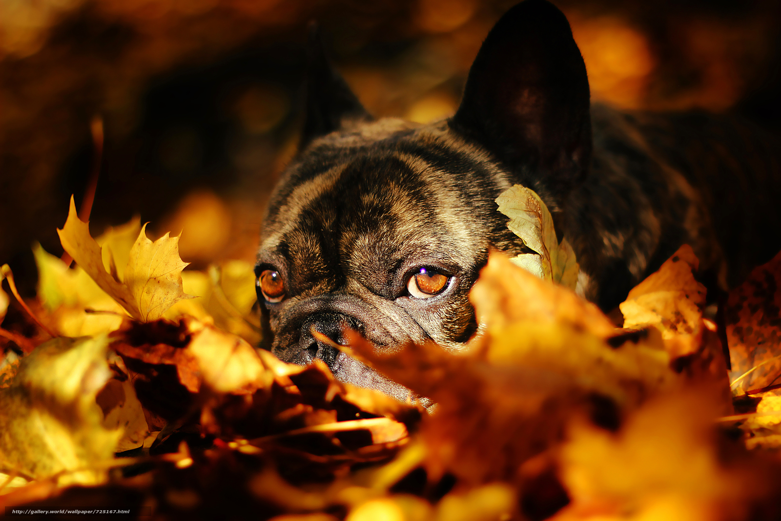 French Bulldog, dog, mordashka, sight, leaves, autumn
