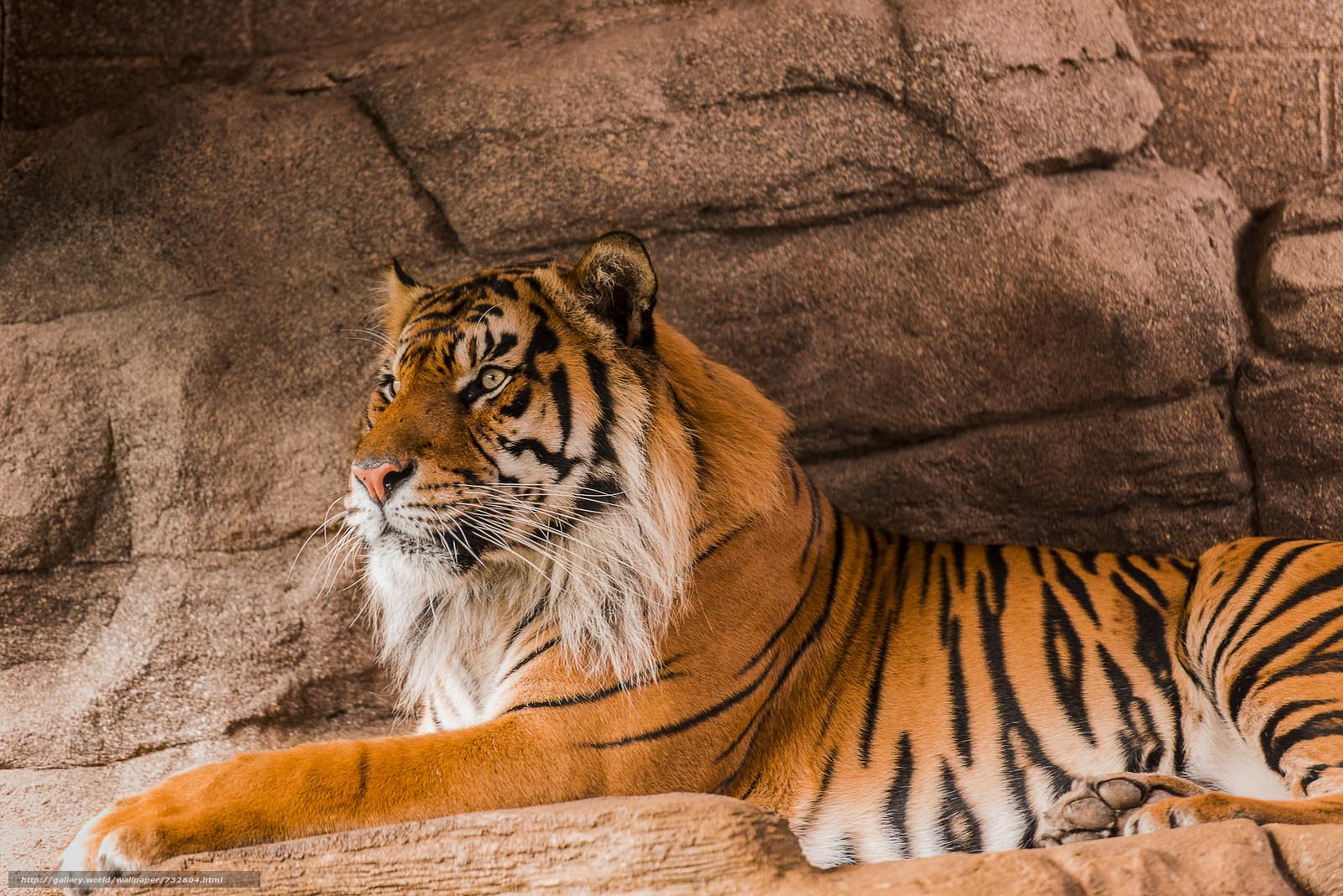 tiger, Sumatran tiger, predator