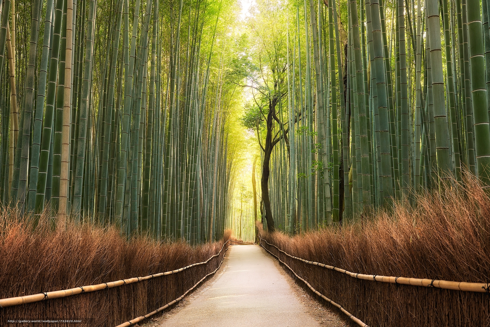 Kyoto, Japan, bamboo, morning, Sunrise, Sagan, bamboo forest, road, landscape