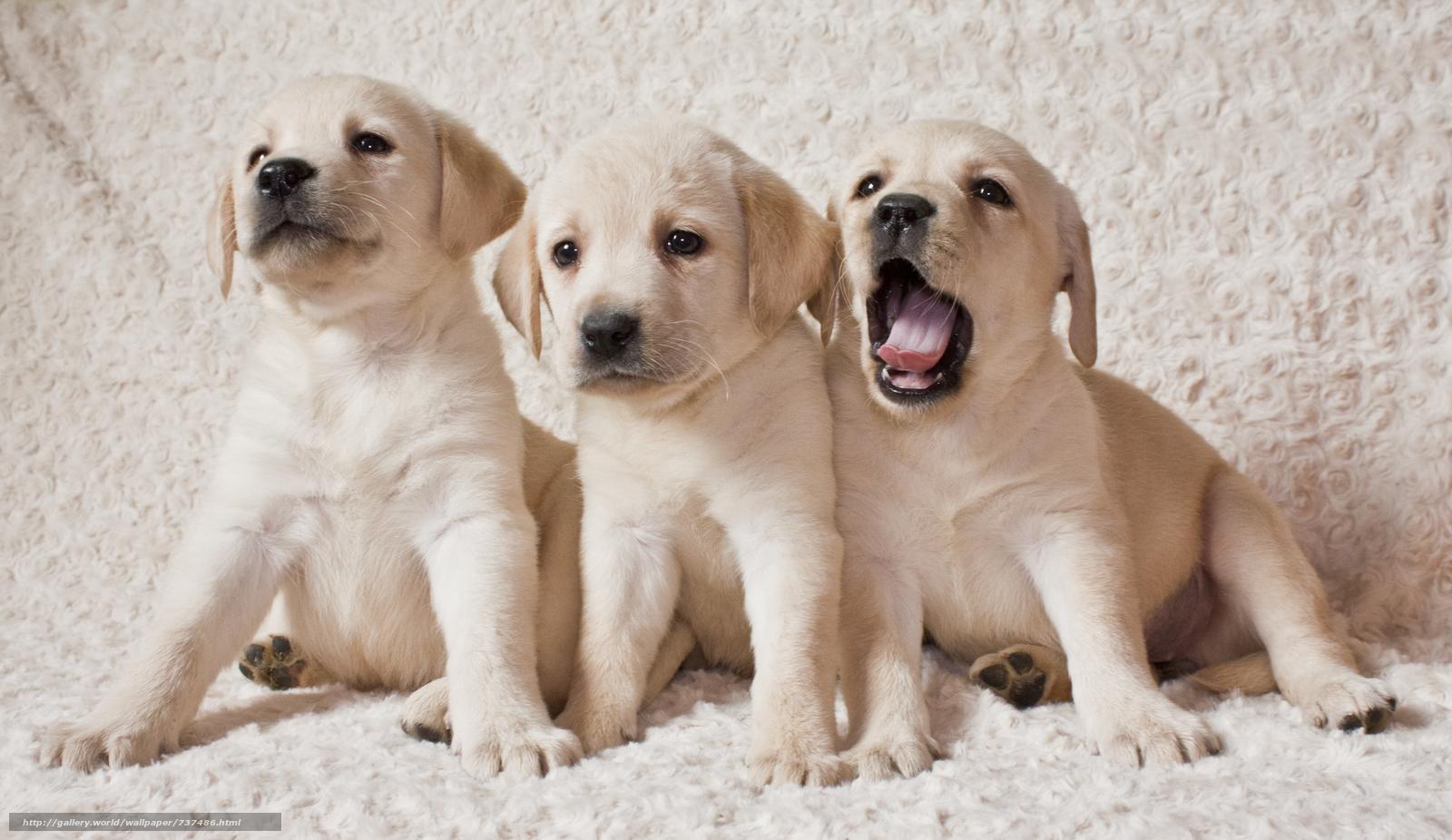 Labrador puppies, Labrador, Labrador Puppies, puppies, dogs, dog