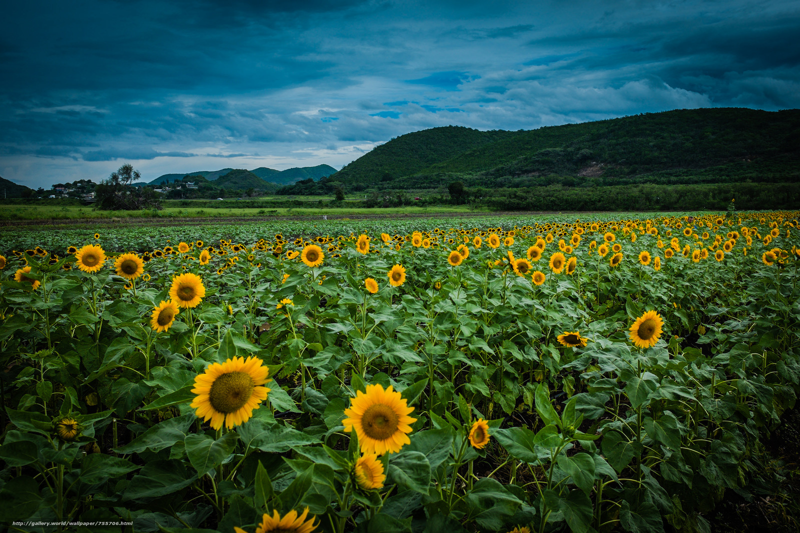sunset, field, flowers, sunflowers, landscape