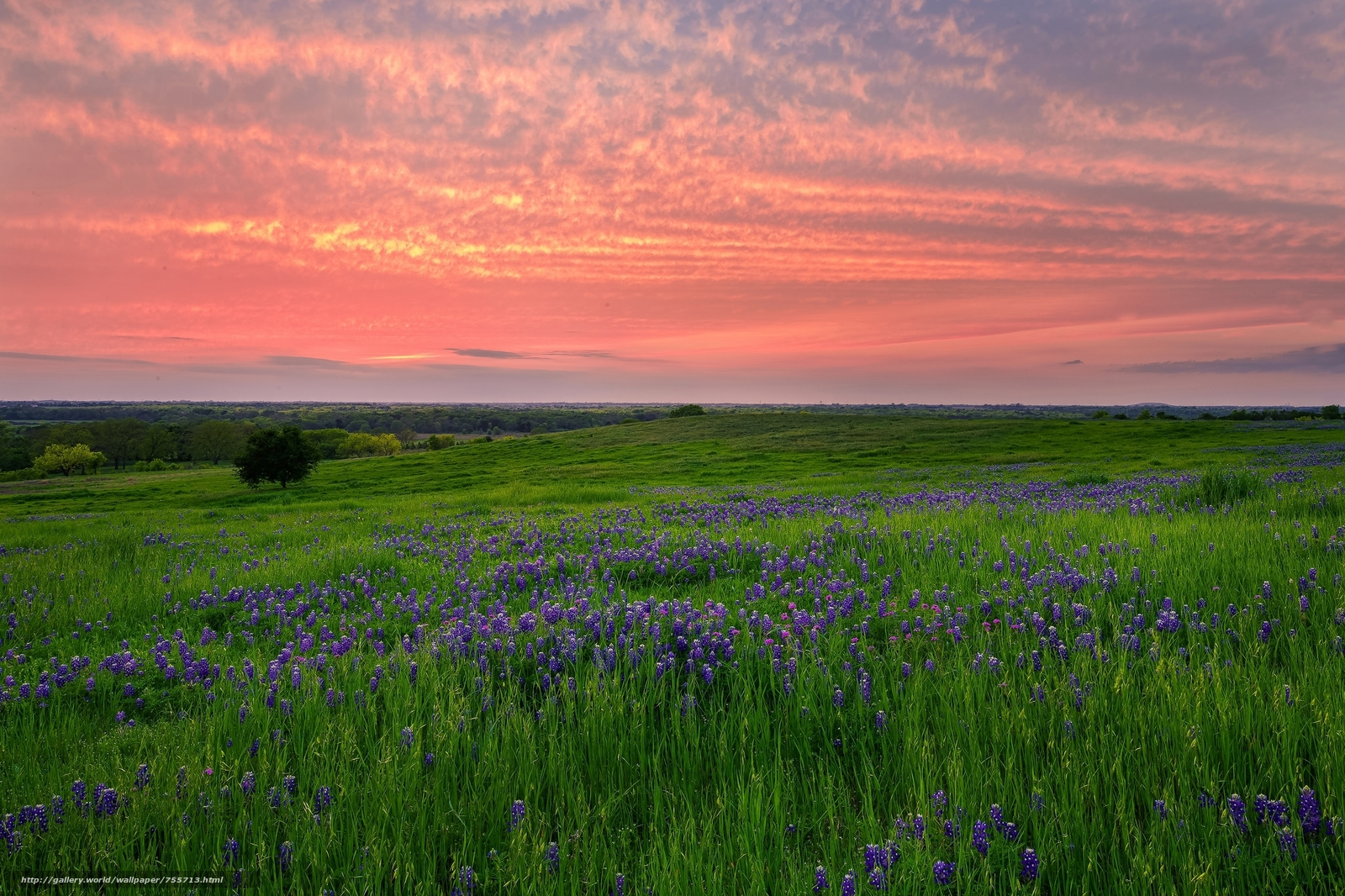 sunset, field, flowers, lupine, landscape