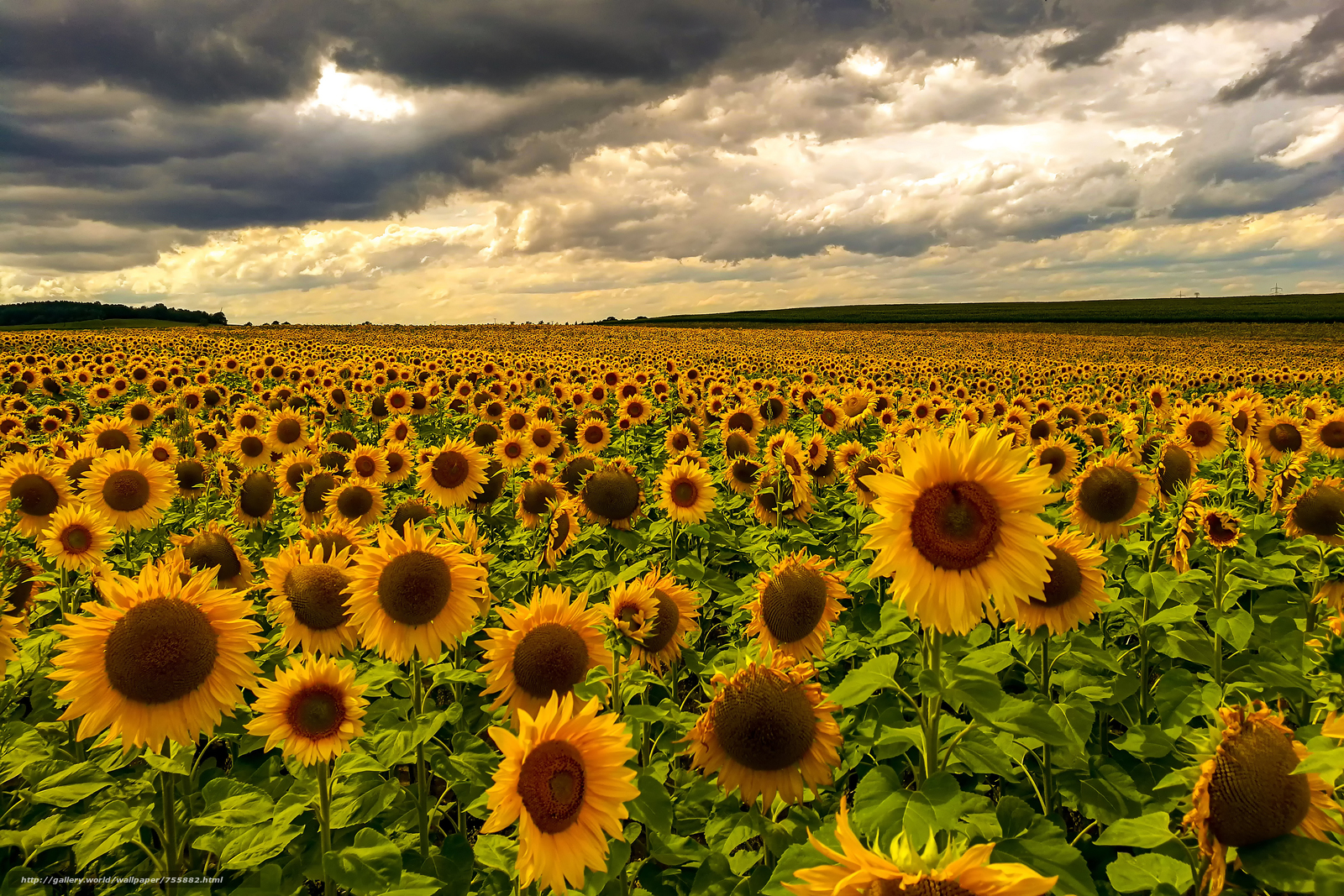sunset, field, sunflowers, flowers, flora, landscape