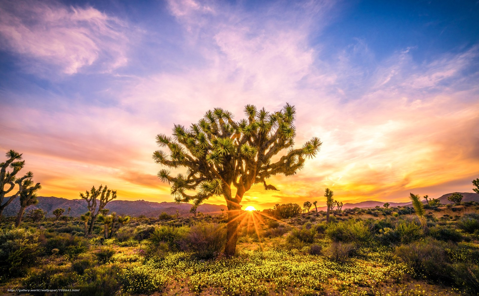 national park, Joshua Tree, desert, trees, sunset, landscape