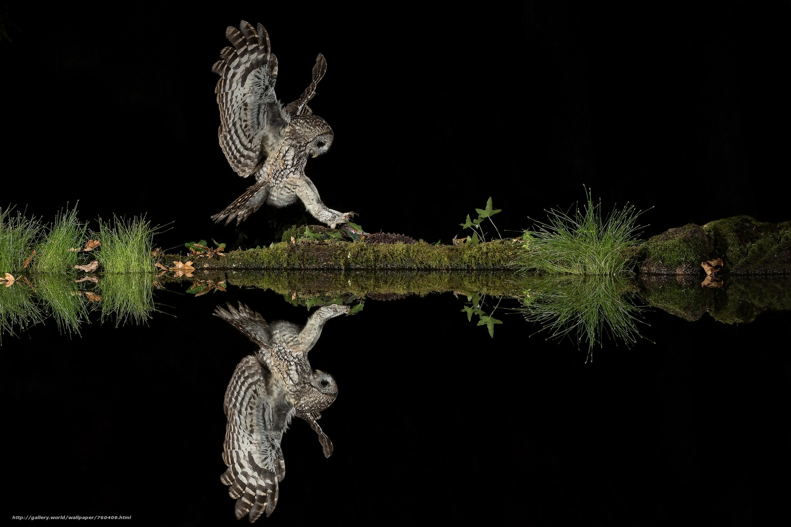 night, water, owl, predator, reflection