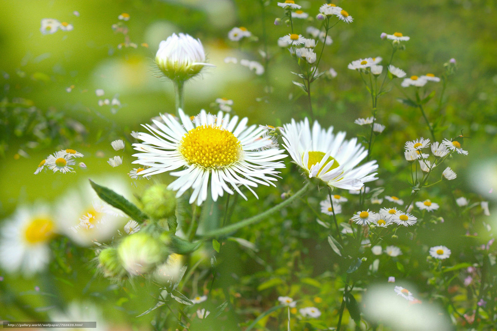 field, chamomile, flowers, flora