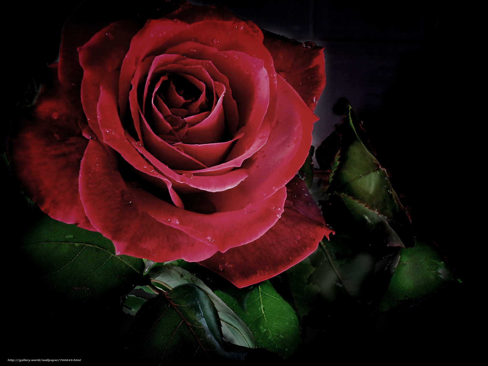 rose flower, flower, Black background, flora