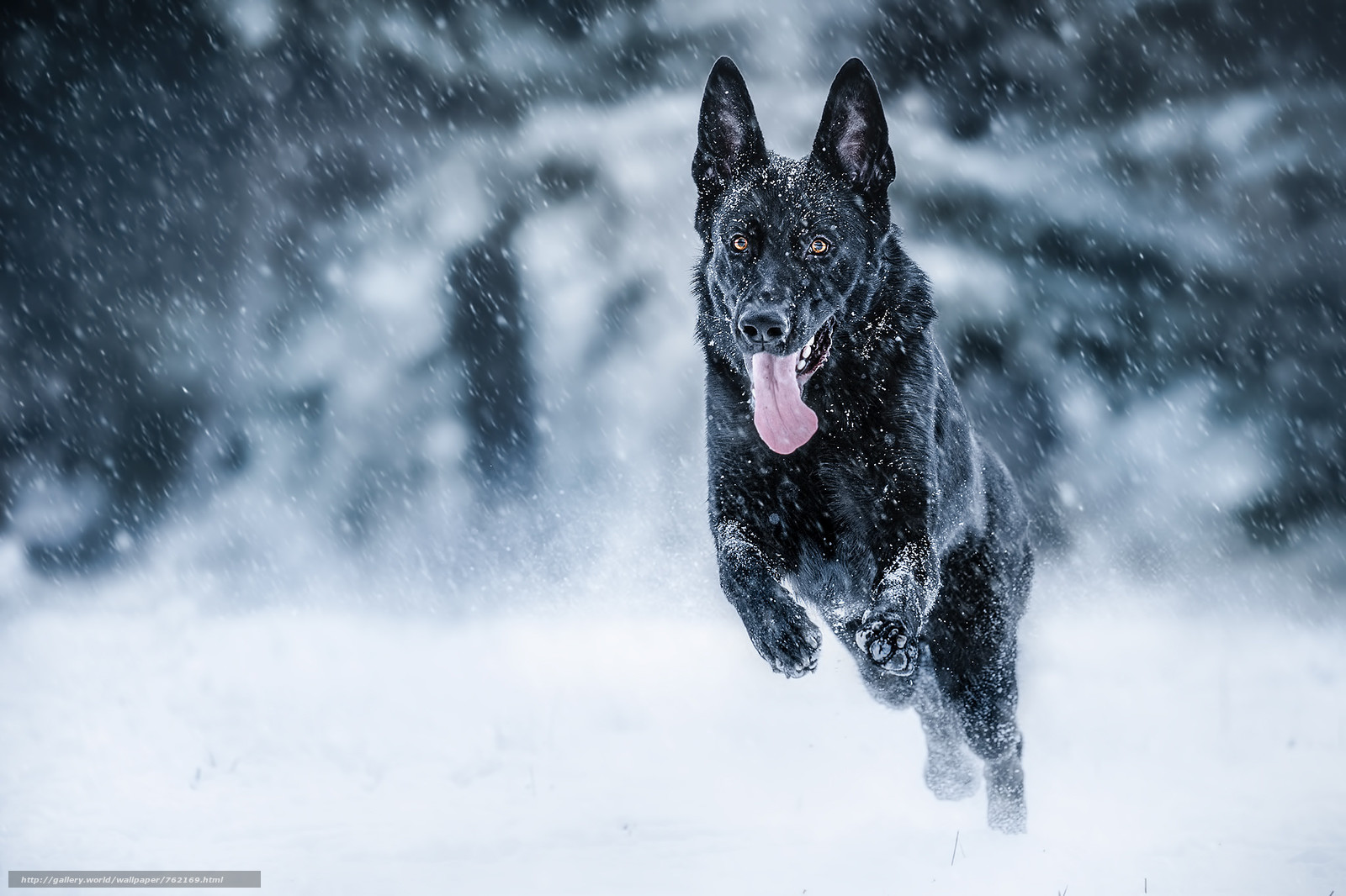 German Shepherd, dog, pet