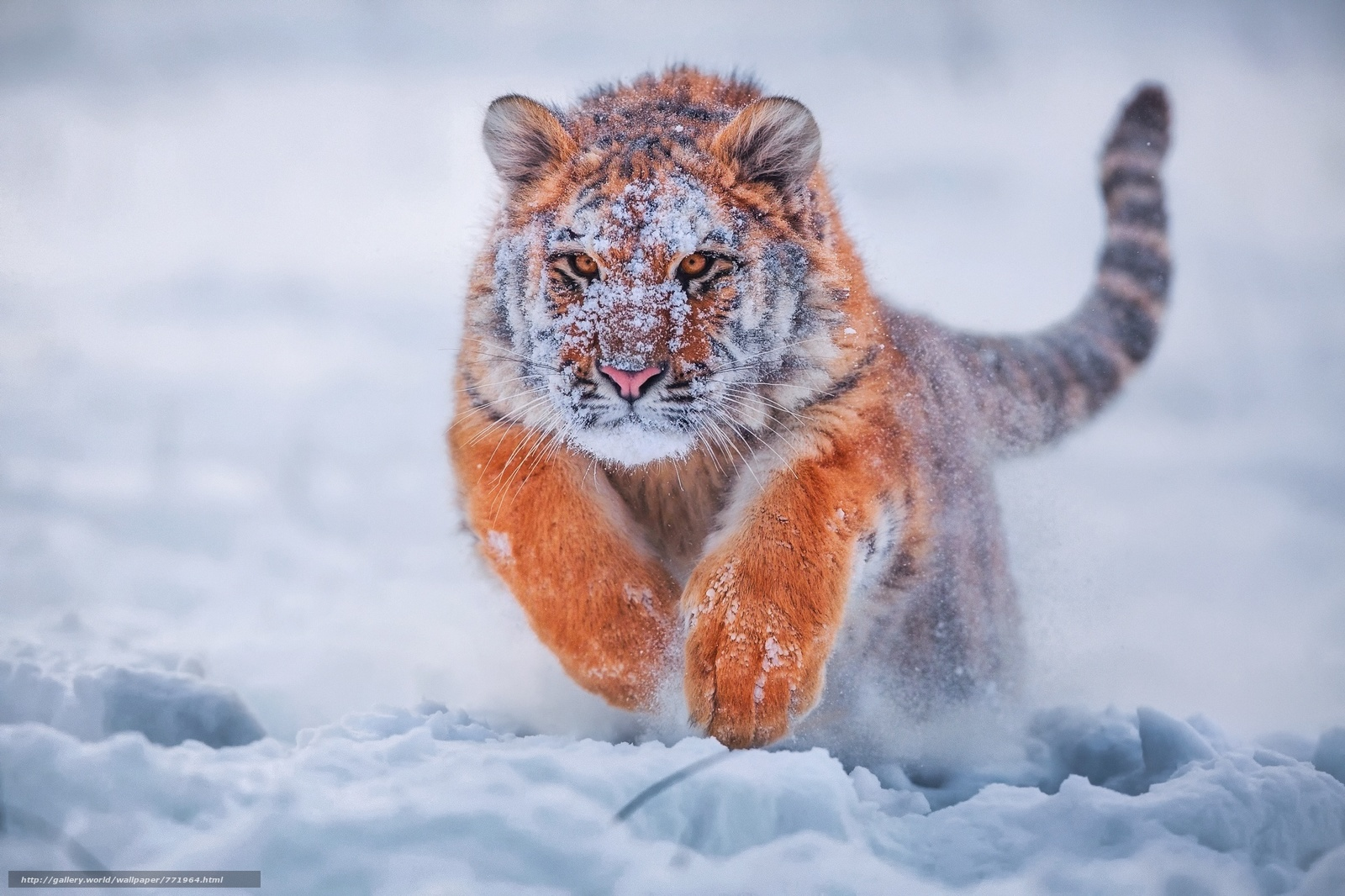 winter, snow, tiger, predator, bounce, tiger in a leap