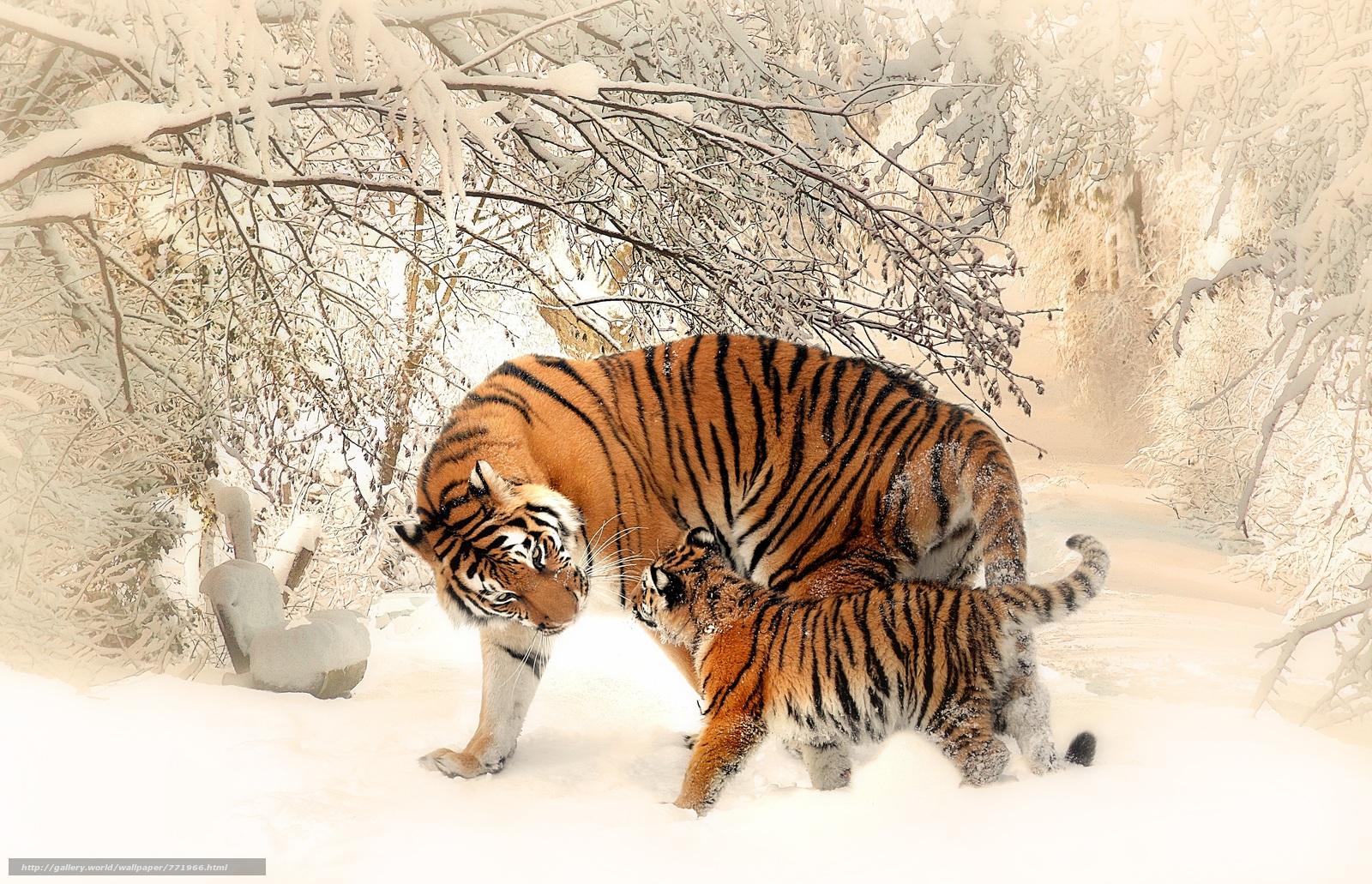 тигр, хищник, зима, снег, тигрица, тигрёнок, забота и ласка, тигриная ласка, материнская ласка