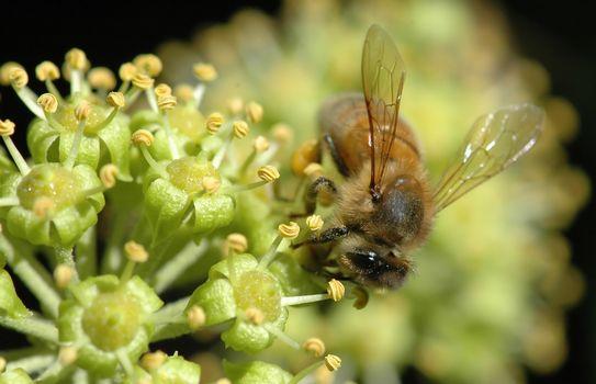 bee, flower, makrosemka, nectar