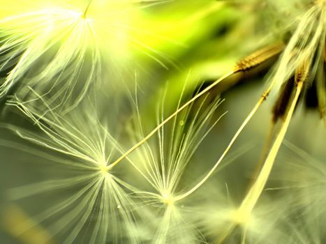 одуванчик, семена, макро