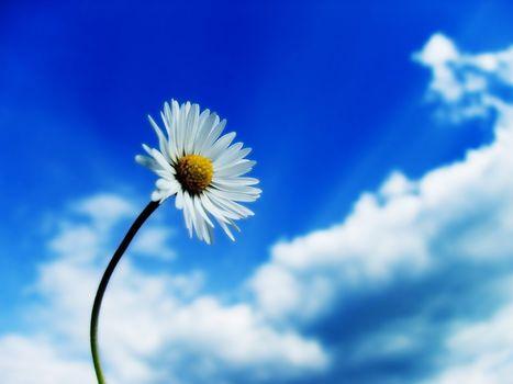 flower, camomile, sky