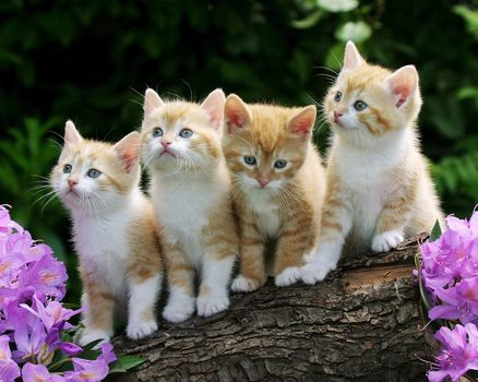 Kittens, малыши, рыжие, fluffy
