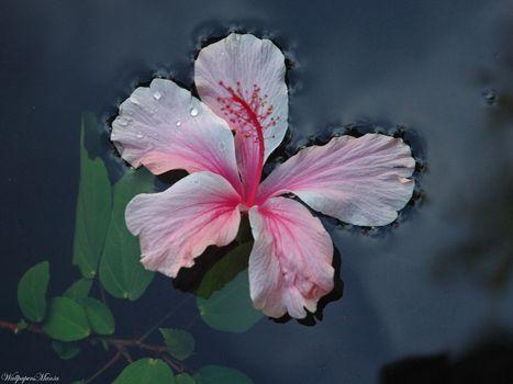 flor, gua, folhas