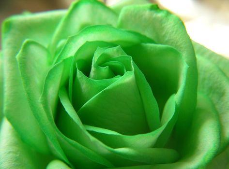 trandafir, verde, floare, wallpapere frumoase natura, trandafir, VERDE, flori, Petale, frumusee