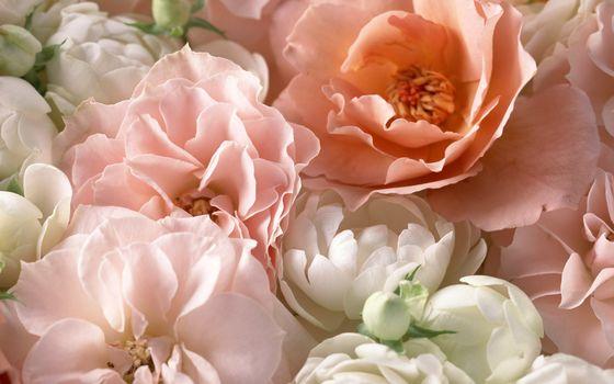 roses, чайная роза, pink, petals, Macro