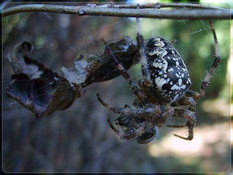 паук, ветки, паутина