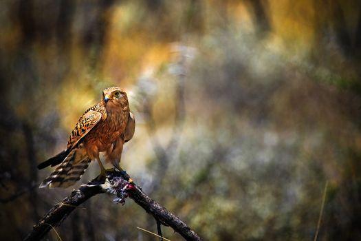 bird, predator, production, falcon, hawk