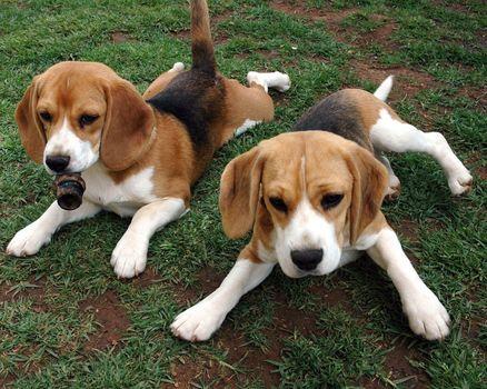 Beagle, Puppies, animals