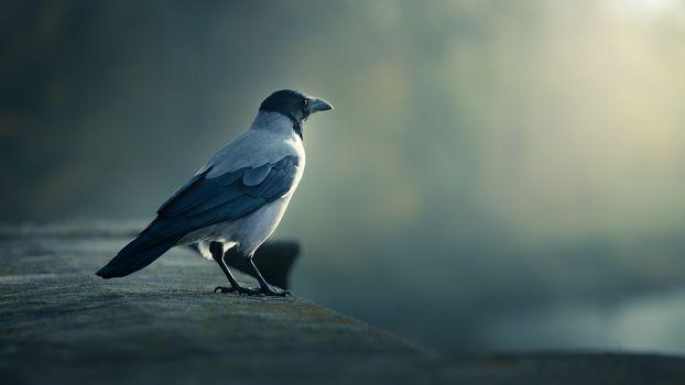 bird, crow, looks