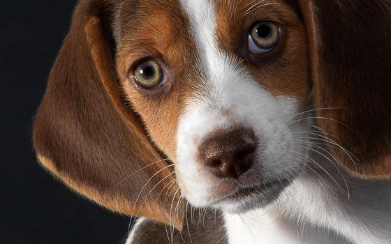 Beagle, puppy, friend