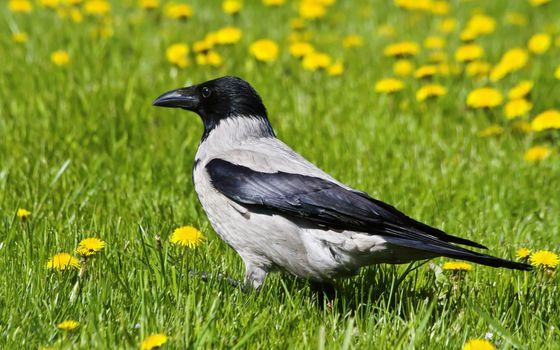 crow, grass, dandelions