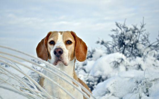 dog, Beagle, Winter