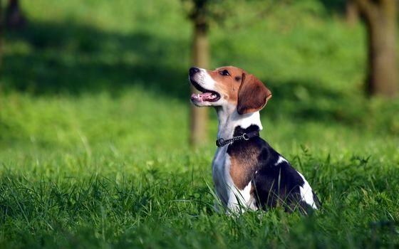 dog, Beagle, field