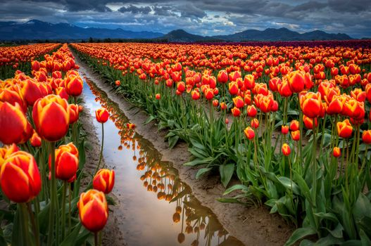 sky, clouds, Mountains, field, Tulips, water, ditch, reflection, evening, Cloudy