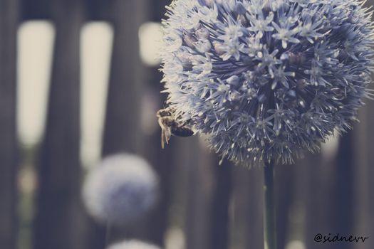 bee, blue, flower, bee, flower