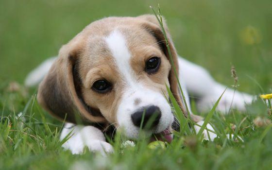 dog, Beagle, friend