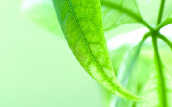 sheet, greens, makrosemka