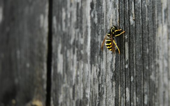 wasp, nature, animals, makrosemka
