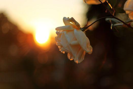 floare, trandafir, apus de soare